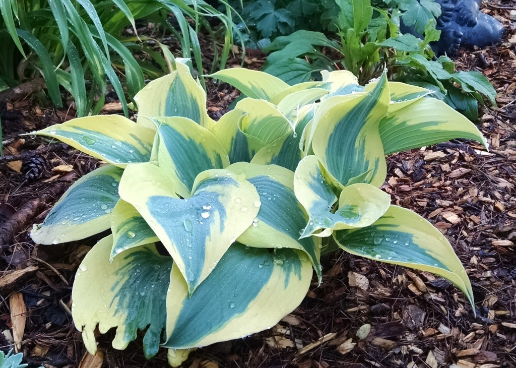 I don't remember what kind of hosta this is, but I love the shades of green, and it perks up my garden all summer long!